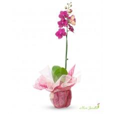 Orhideea ambalata